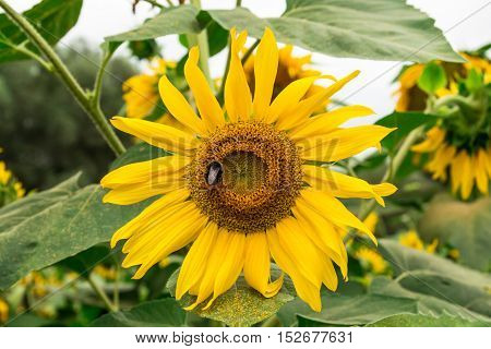 Bumblebee on yellow sunflower in the garden. Detailed image of a sunflower on a bright summer day with bumblebee sitting on the flower.