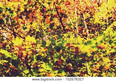 Fall Maple Leaves Filtered