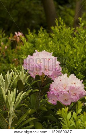 Blooming Rhododendron pink flowers in spring garden