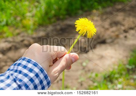 man holding a yellow dandelion flower in his hand. warm dry calm weather. blue and white plaid shirt.