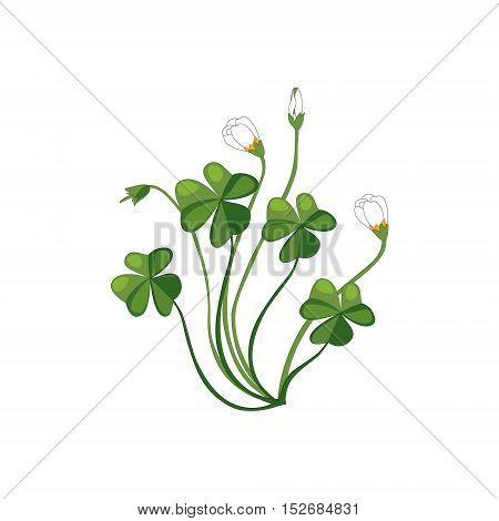Shamrock Wild Flower Hand Drawn Detailed Illustration. Plant Realistic Artistic Drawing Isolated On White Background.