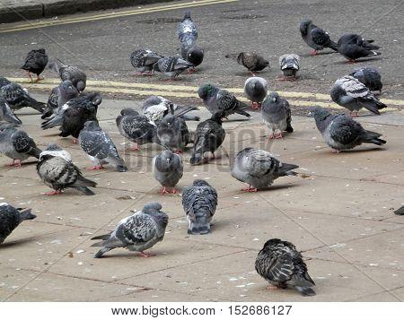 Flock of Pidgeons feeding in London Square