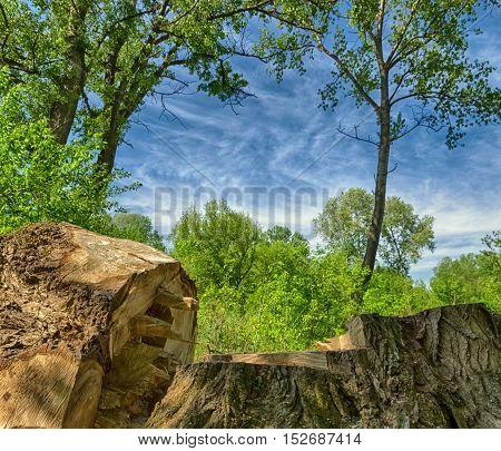 felled tree. tree felling. trunk. deep blue sky and forest green. summer season landscape.