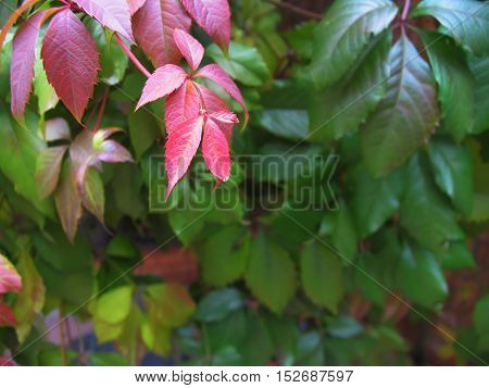 Colorful red green autumn grape leaves background