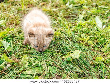 little brown siamese kitten running around on the grass on synny summer day closeup