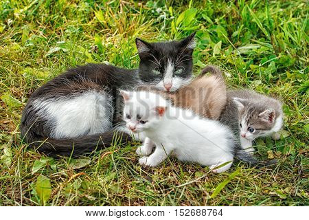cat with three kittens walking on grass in the garden on summer day