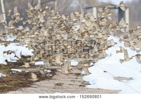 flock of sparrows flying winter day, migration, accumulation birds