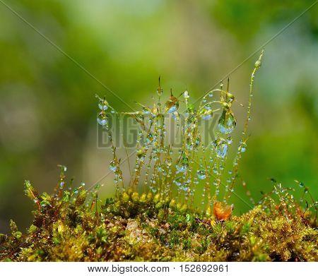 Closeup water drops on moss with Sun beams