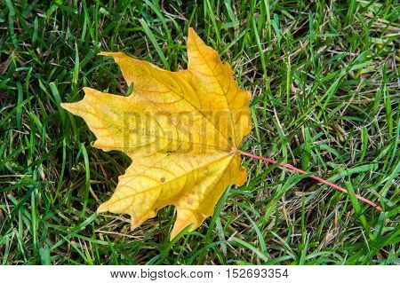 Texture, Background. Autumn Leaves, Maple Leaves Red And Yellow. A Tree Or Shrub With Lobed Leaves,