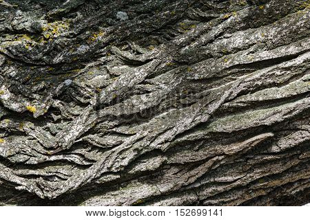 exture background. Bark of tree. Old poplar outdoor over wood piece of trunks stems and roots of woody plants.