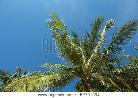 Palm tree and blue sky. Sunny day at the tropical island. Coco palm leaf on the wind. Exotic nature landscape for card or banner template. Optimistic skyscape photo for background