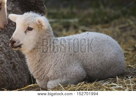 a small lamb laying down for rumination