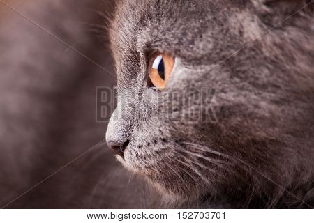 Gray fluffy kitten close-up. Pets. Nature background