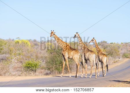 Family Of Three Giraffes Crossing The Road In The Kruger National Park, Major Travel Destination In