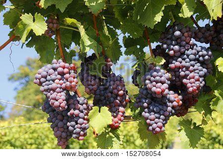 vine grapes on a grapevine in the sunshine