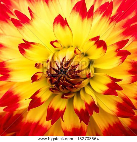 Detailed macro shot of a red and yellow Dahlia