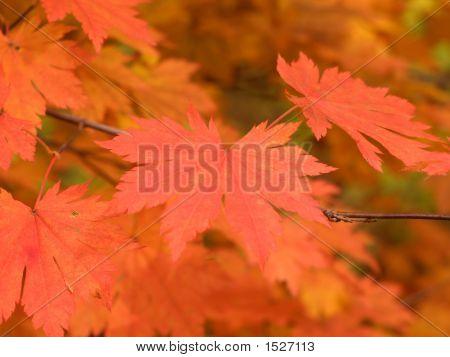 Herbst Maple leaves soft Makro