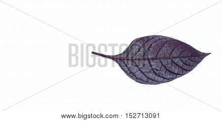 Purple leaves with drops isolated on a white background.