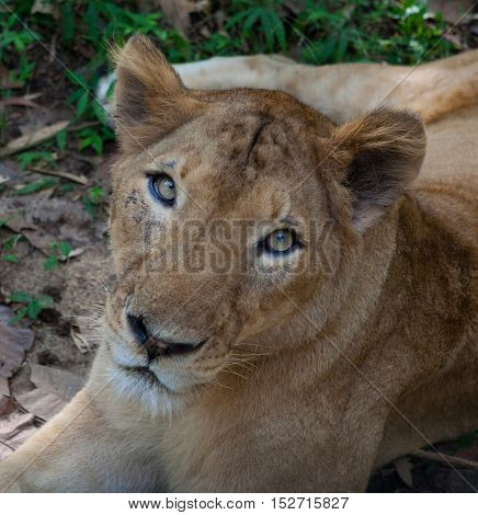 Rare Asiatic lioness in the national Park Nayyar Dam, Kerala, India