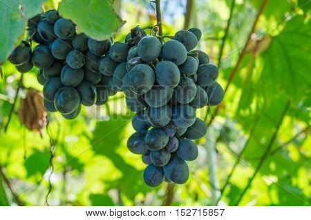 a bunch of grapes on a bush