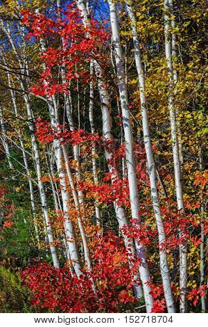 Fall foliage amongst birch trees.