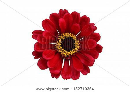 Red flower isolated on white with clipping path.