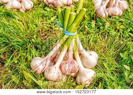 one bundle of garlic lying on the green grass on summer day closeup