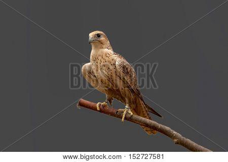 closeup of a beautiful bird of prey in the wild