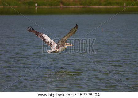 Spot-billed pelican( Pelecanus philippensis) flying over lake