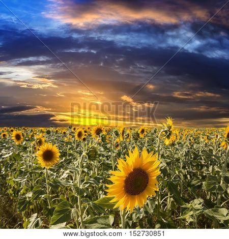 Field sunflowers on a background beautiful sunset