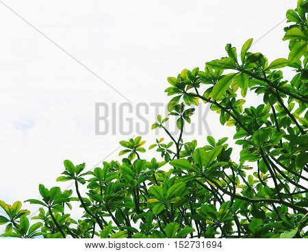 green leaves of tree on sky white background