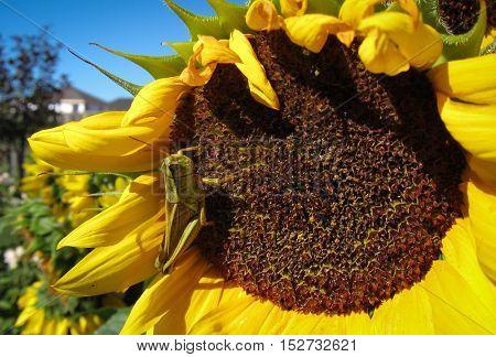 Green grasshopper eats and damages blooming sunflower closeup