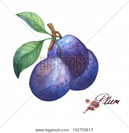 Three whole plum on branch with leaves . Hand drawn watercolor painting on white background.