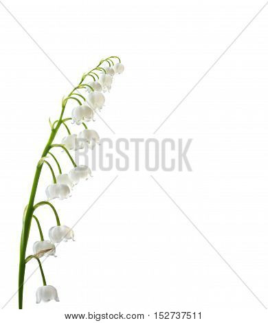 The branch of lilies of the valley flowers isolated on white background. Convallaria Majalis