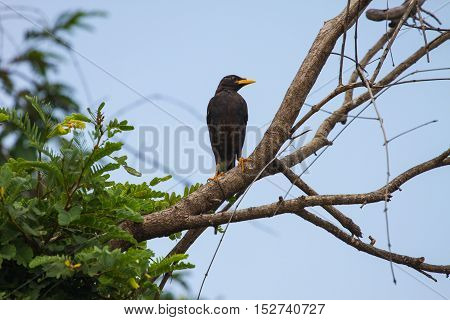 White Vented Myna On Nature Background