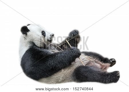 Giant Panda relaxing on its back and eating bamboo leaves, isolated on white background. The Giant Panda, Ailuropoda melanoleuca, is also known as panda bear, it's a bear native to south central China
