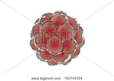 Human embryo isolated on white background, 3D illustration