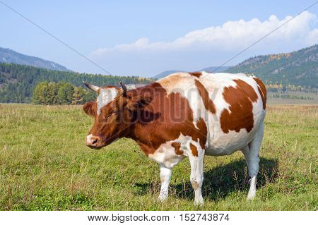Cow on a pasture on a sunny day in early autumn