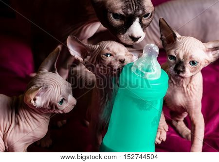 Sphynx hairless cats. Egipt cats on purple background