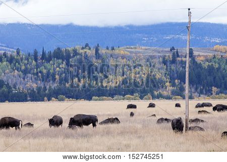 A Bison herd rests by the utility pole in the Grand Teton National Park