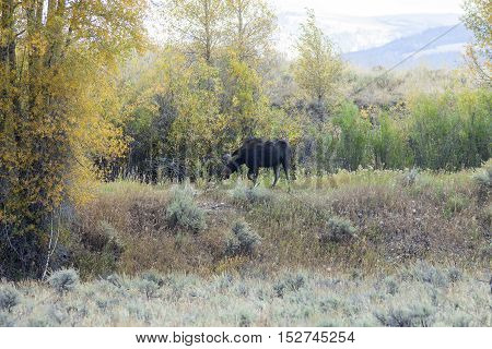 A moose in the Grand Teton National Park