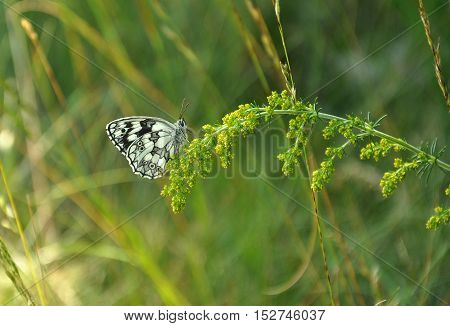 marbled white (Melanargia galathea) on the plant