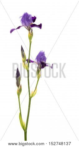 fragile delicate purple iris flowers on long thin green stalk bent on a white background isolated vertical