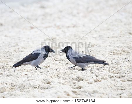 two beautiful smart gray and black crows talking on a background of small light sawdust
