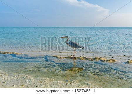 Gray Heron On Stones With Background Of A Chain Of  Bungalows In The Ocean, Maldives