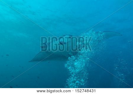 Large Manta Swims Close To The Camera, Maldives