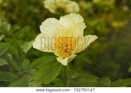 Paeonia suffruticosa yellow flower. Peony flower in garden