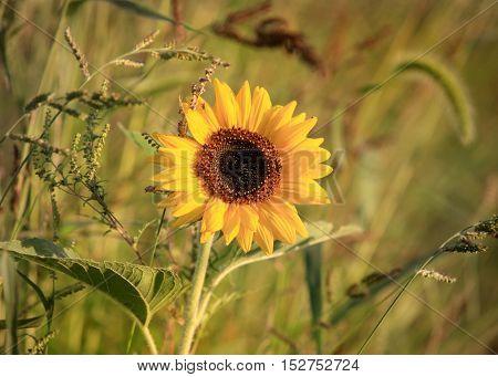 Close up shot of Sun flower