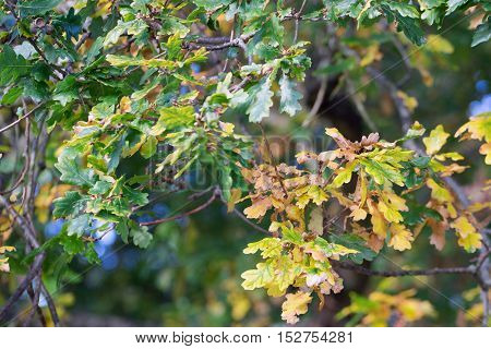 Autumn leaves on an Oak tree in southern England