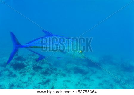 Blue Fin Trevally (caranx Melampygus) In Ocean Water, Maldives